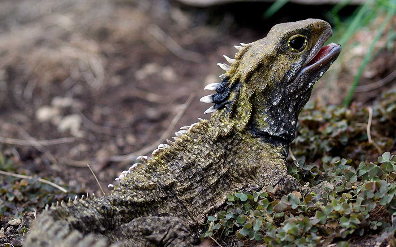 Tuatara, animal, living, Earth, nature, planet, survival