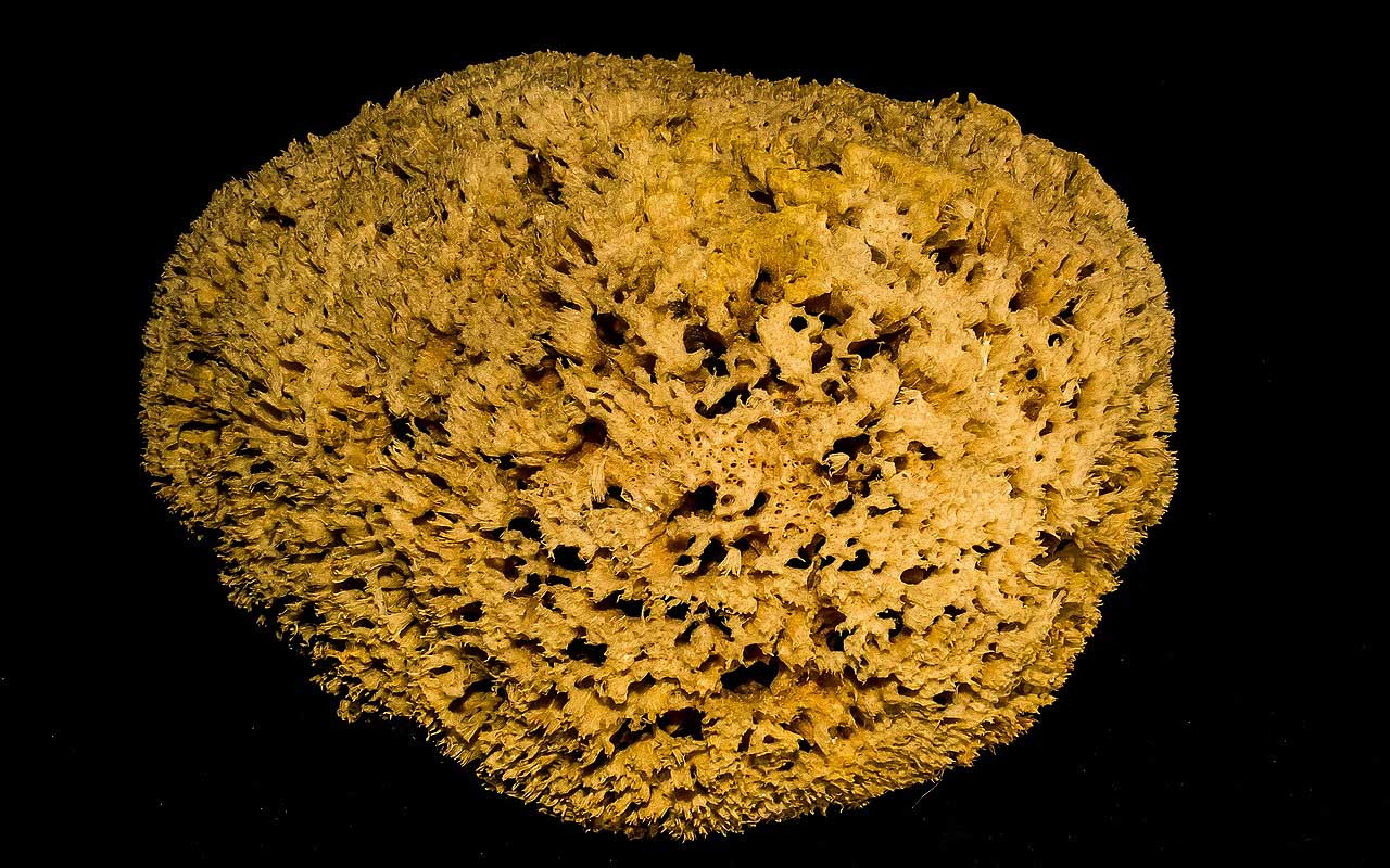 Antarctic sponge, sea, marine life, people, facts, living, Earth