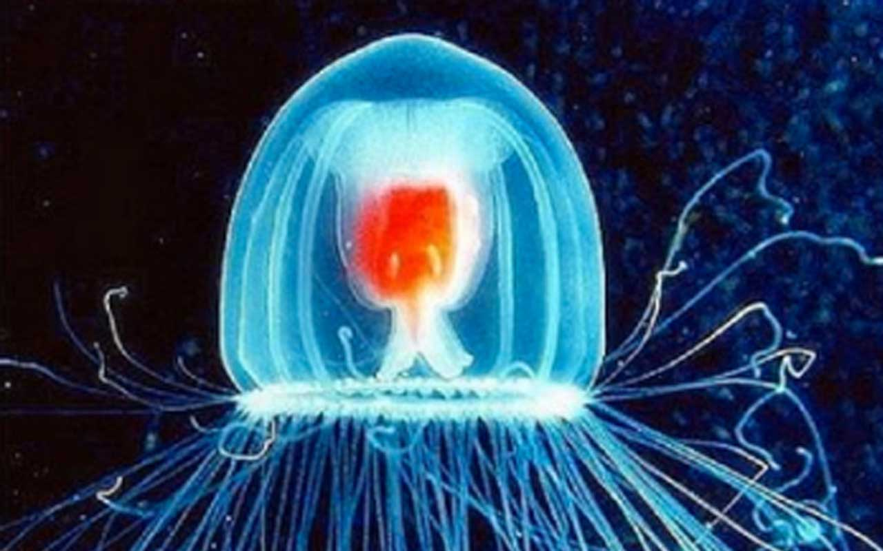 Turritopsis nutricula jellyfish, marine, animal, facts, nature, Earth, living