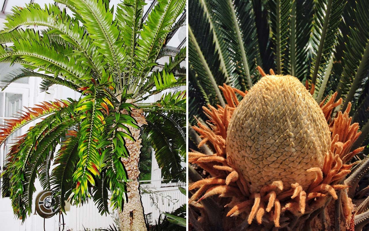 Cycad tree, facts, perspective, life, nature, people, science