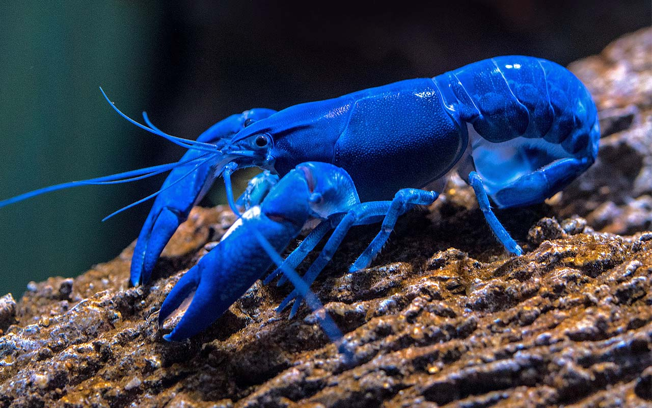 blue lobster, surreal, animals, facts, life, nature, Ocean