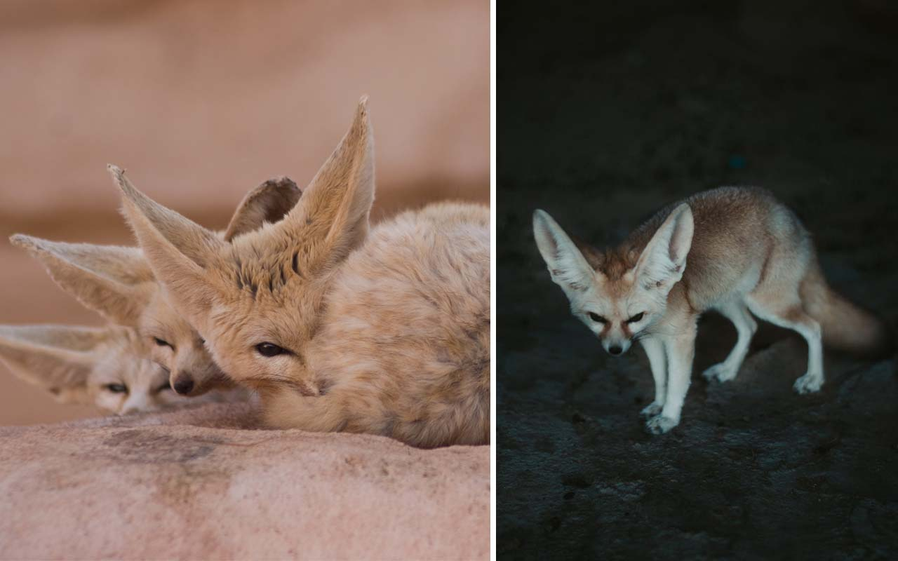 Fennec fox, animals, life, people, weird, nature