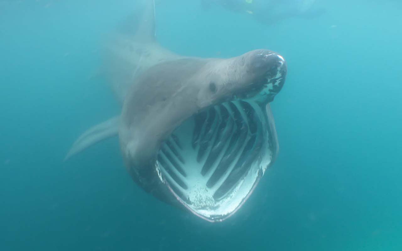 Basking shark, sea, animals, life, people, facts, nature, Earth