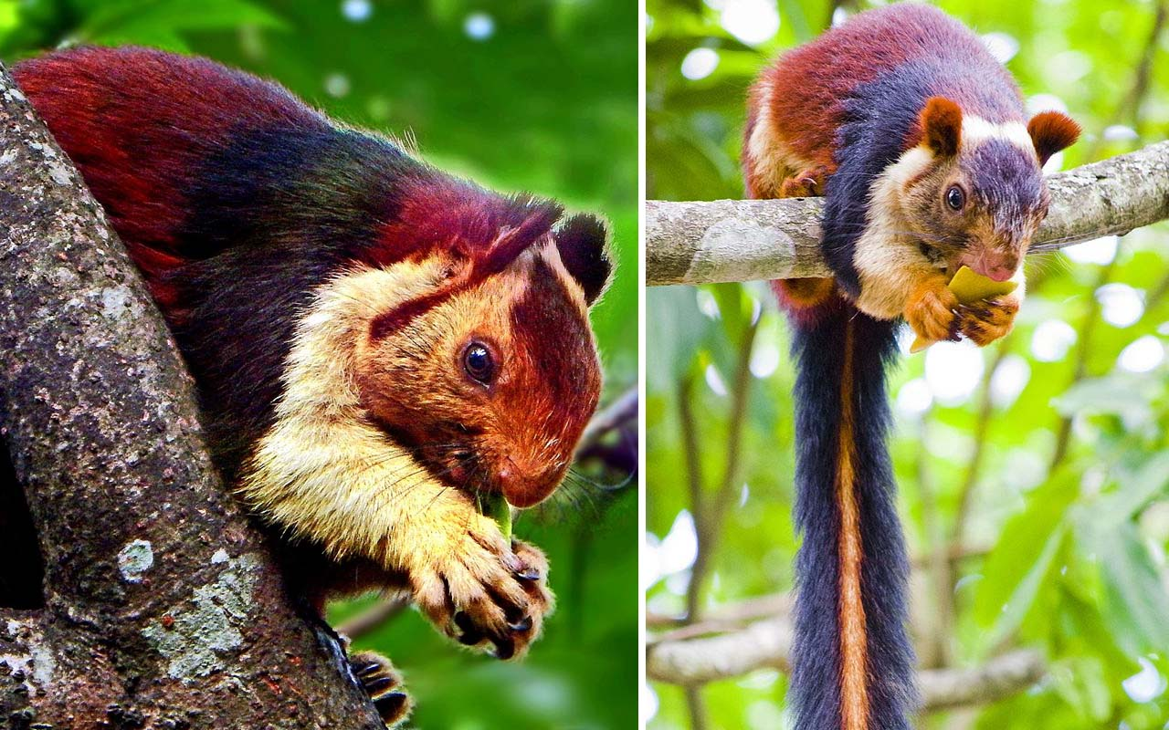 Malabar giant squirrel, facts, life, people, weird, nature, Earth