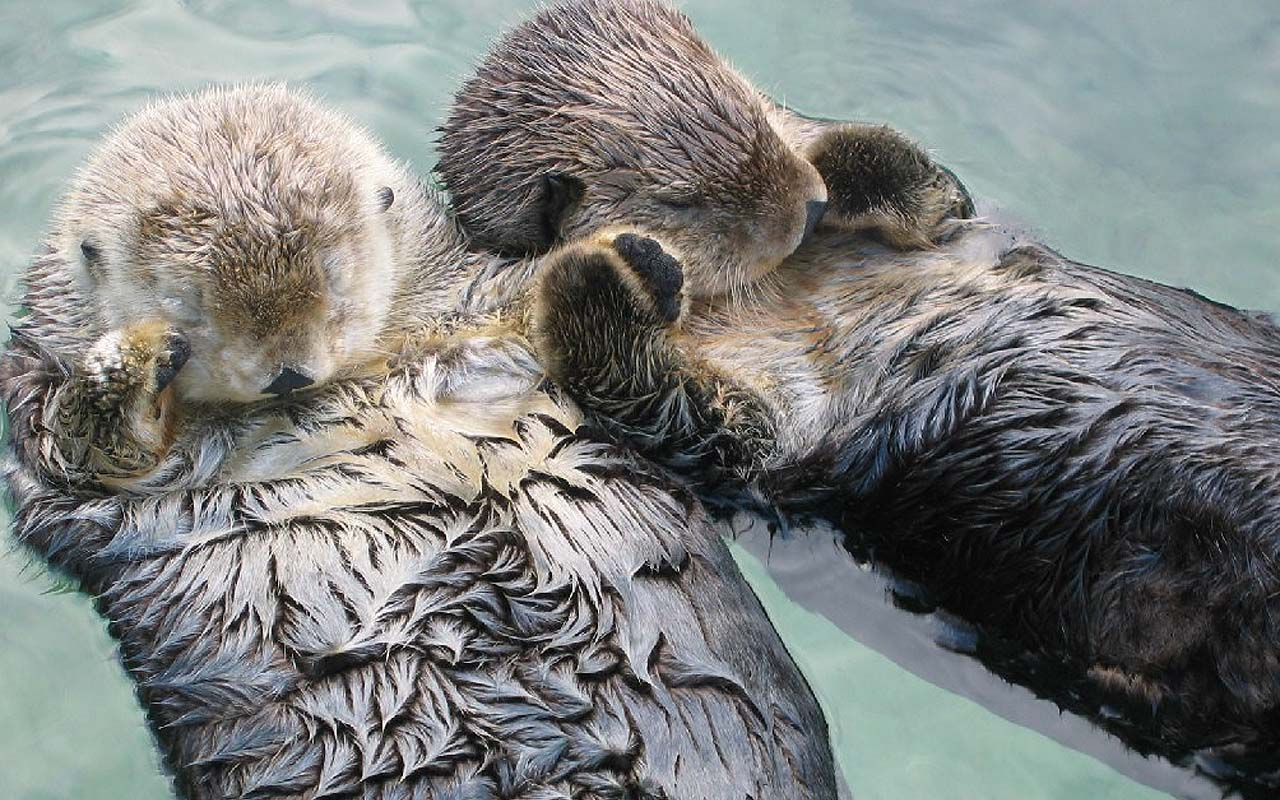 sea otters, holding hands, facts, animals, life, useless