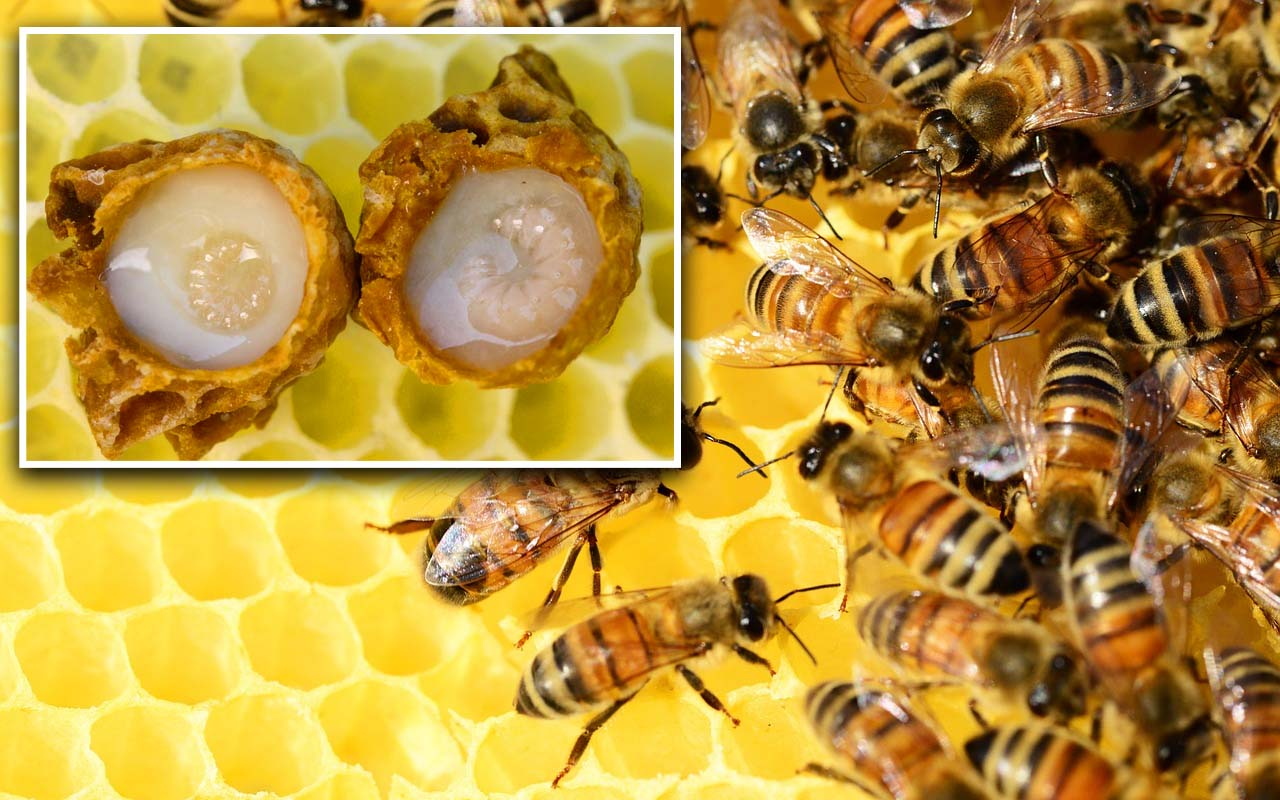 royal honey, queen bee, facts, insects, nature, Earth, planet, science