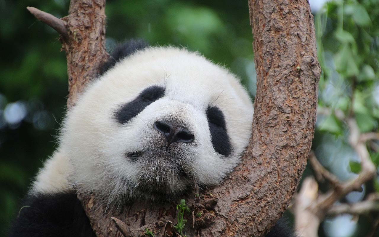 pandas, sleeping, nature, animals, facts, amuse
