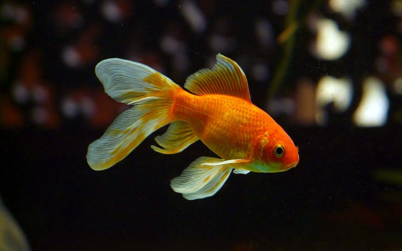 goldfish, color, pigment, facts, life, nature, animals, ocean, pet