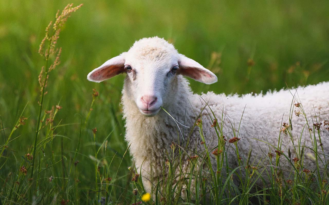 sheep, grass, nature, facts, life, animals, grazing