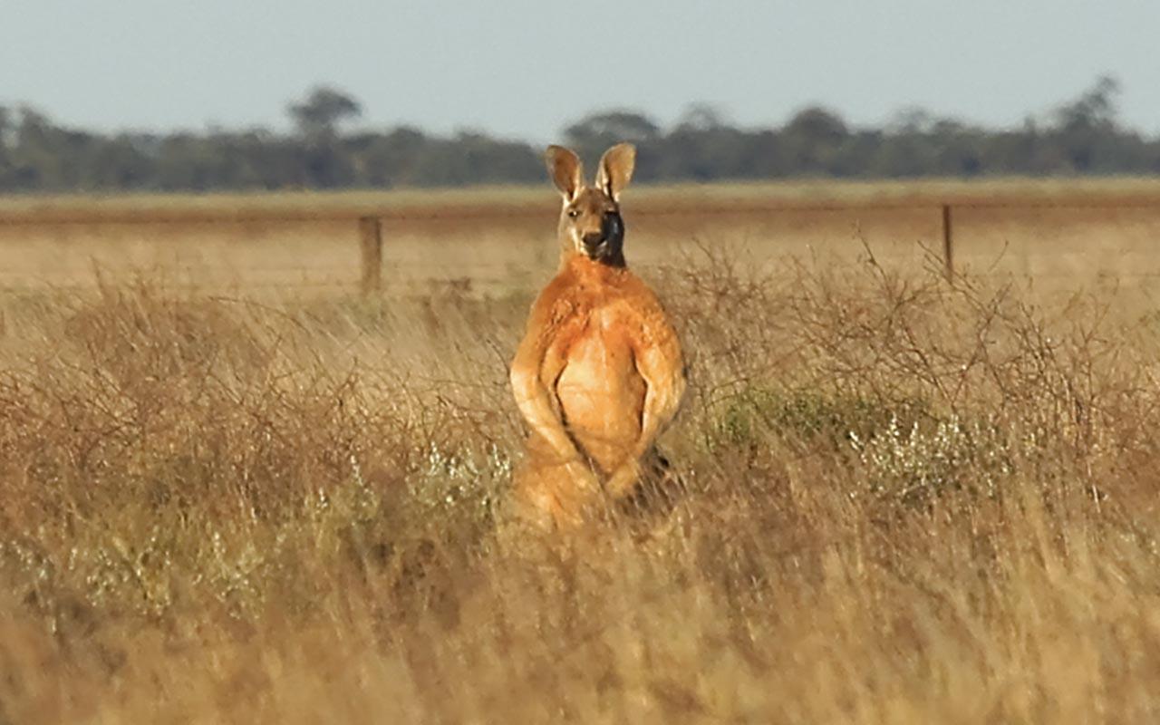 Kangaroo, biceps, biology, facts, people, life, Australia, wildlife, nature