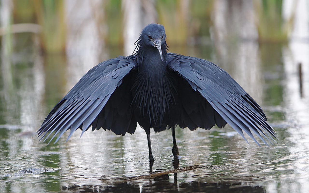 black heron, umbrella, bird, fish, facts, shadow, weird