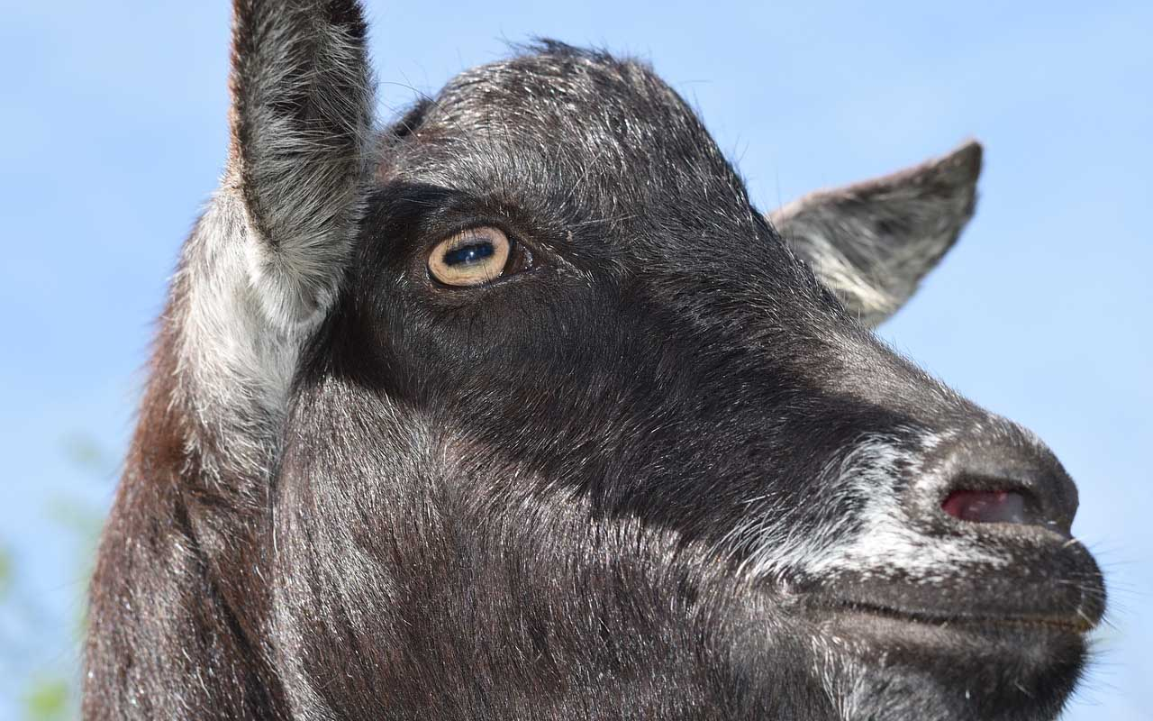 goat, eyes, facts, fun facts, life, people, animals, pupil