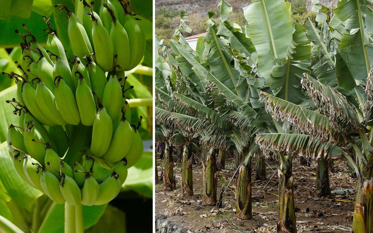banana, plant, leaves, herb, tree, green, nature, foods