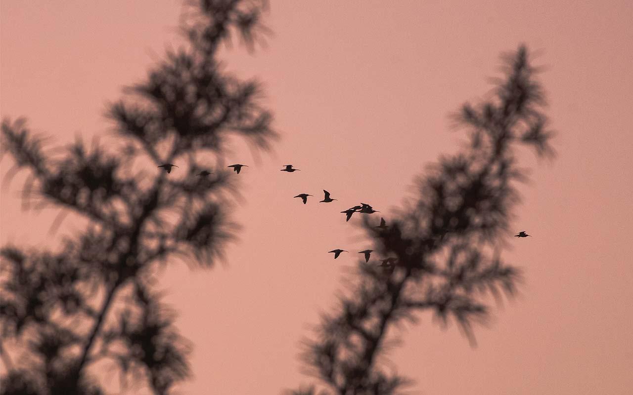 migrating birds, migratory, facts, life, survival, wilderness