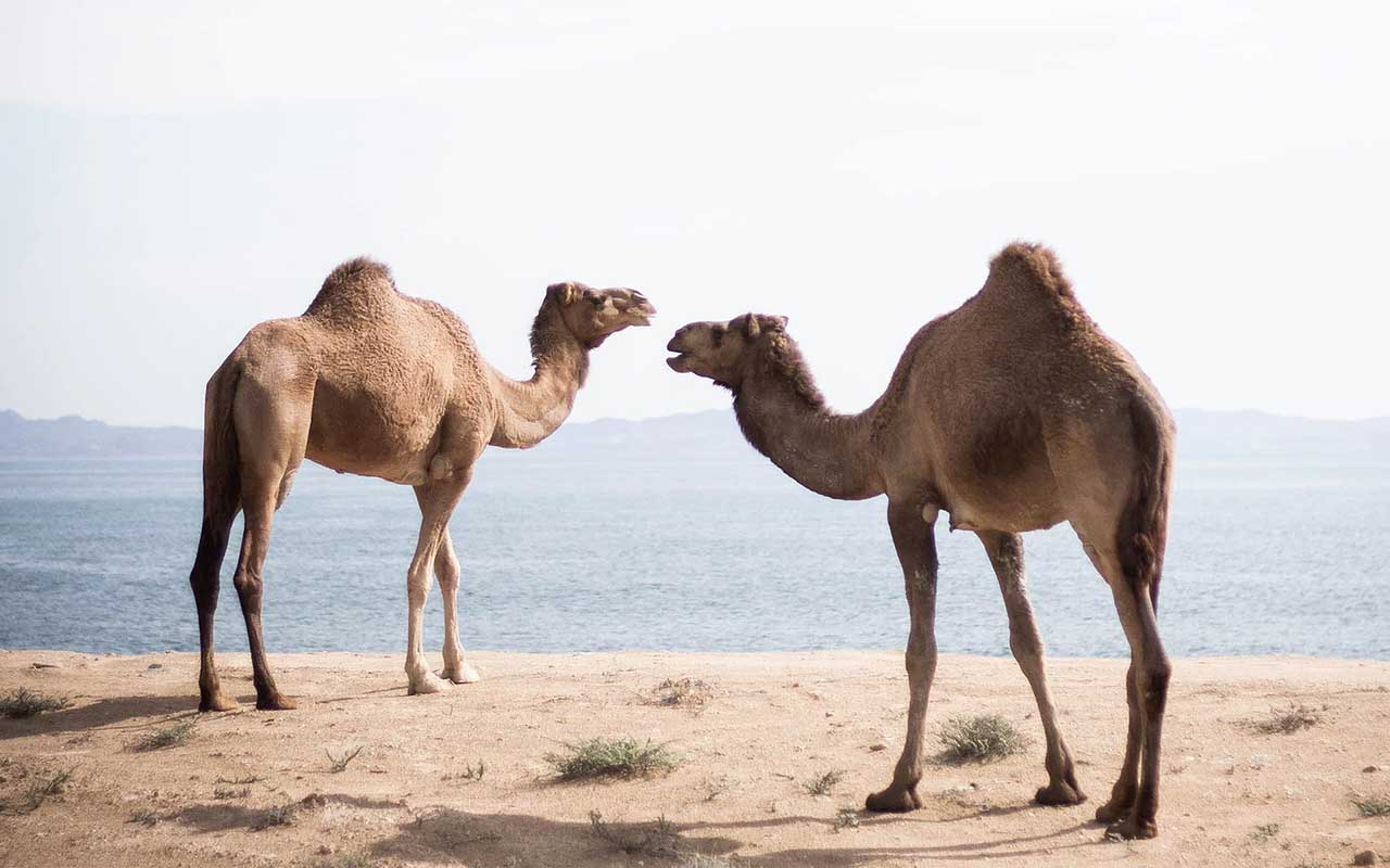 camel, travel, people, life, facts, animals, common facts