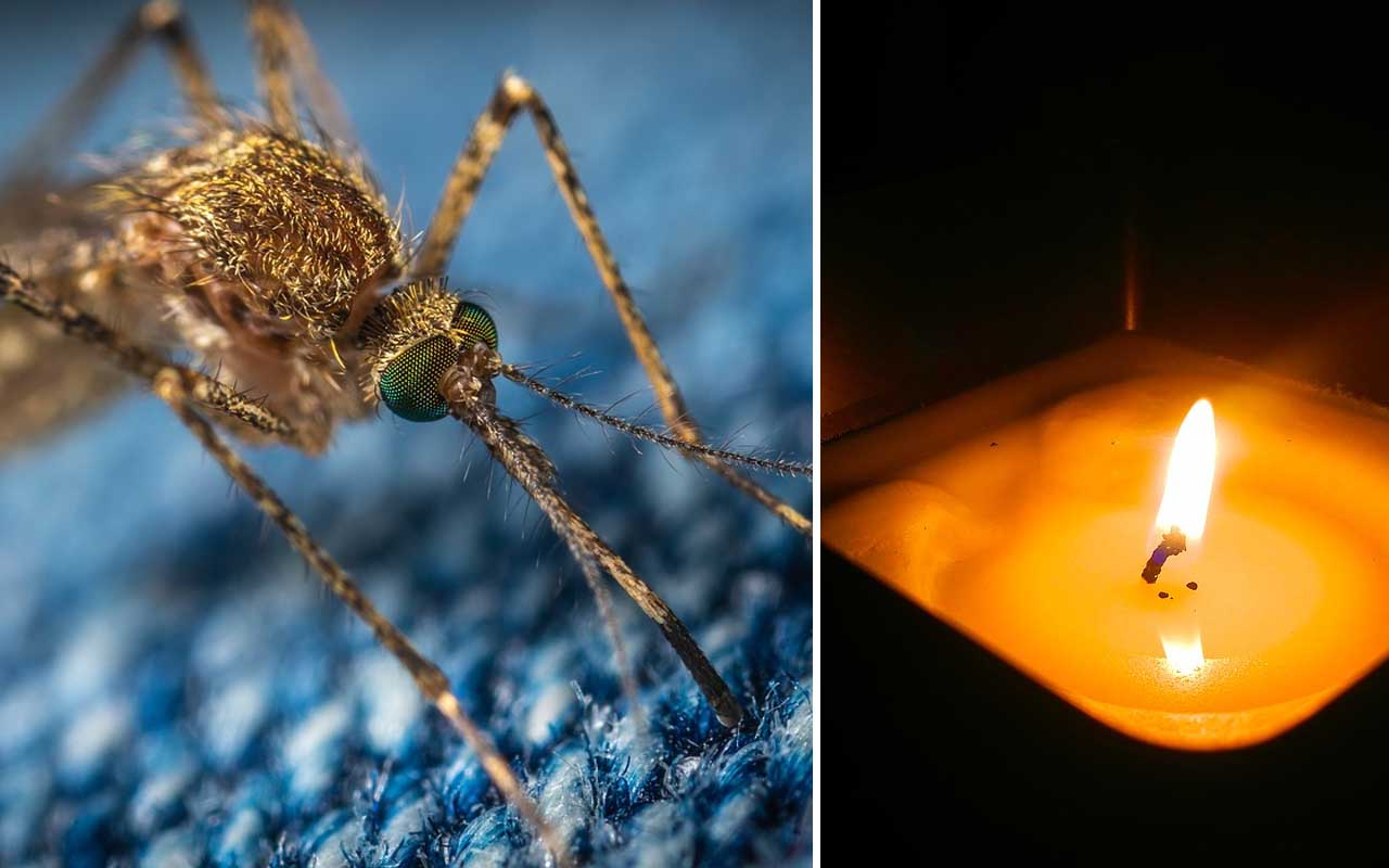 mosquito, facts, people, science, citronella, nature, insects