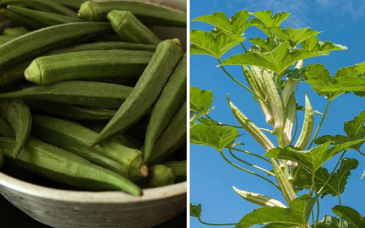 okra, foods, facts, fun, nature, plants, vegetables, life, people, farming, India