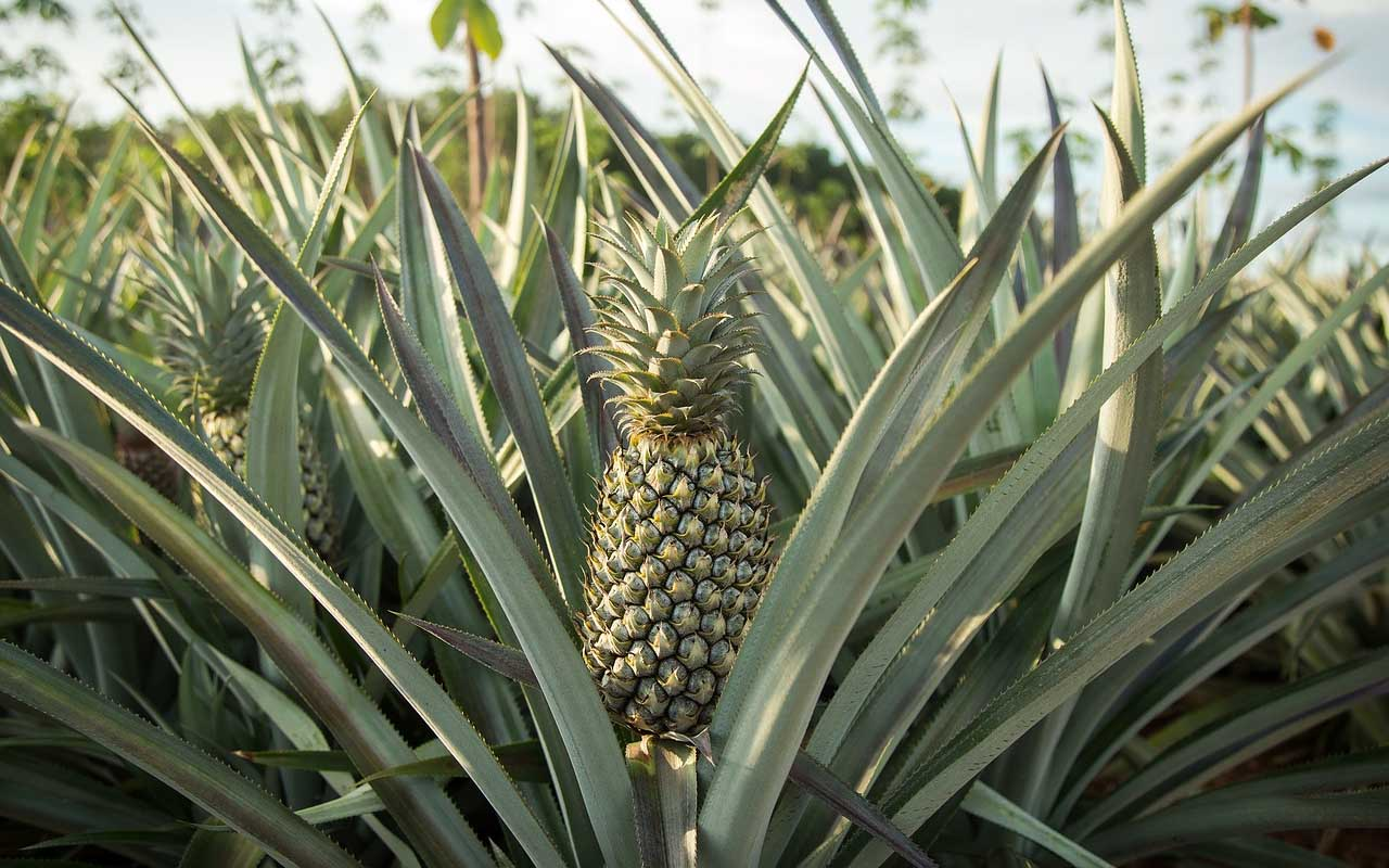 pineapples, plant, growing, facts, nature, life, farming