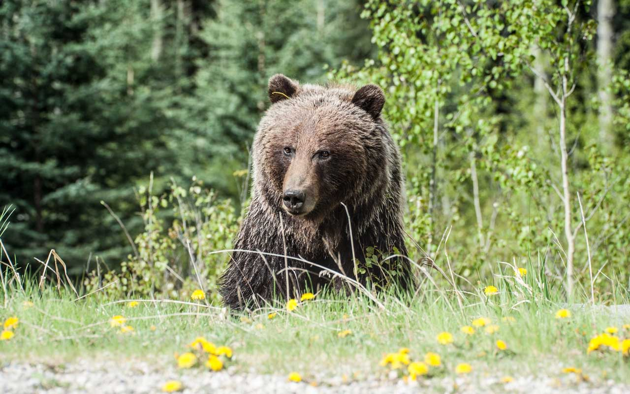 grizzly bear, facts, nature, wild animal, safe, life