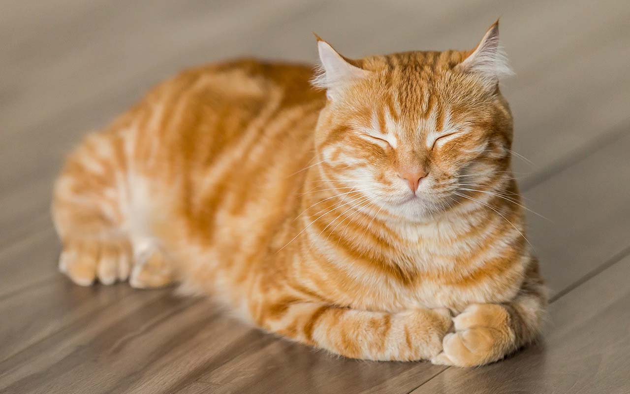 purring, animals, cats, facts, science, pets