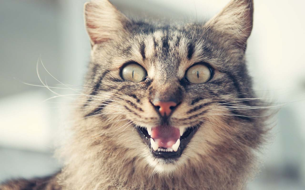 cat, meowing, facts, animals, nature