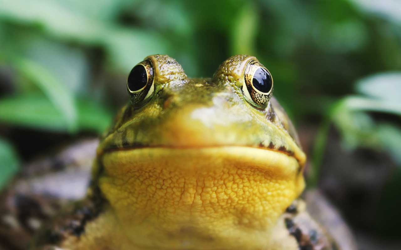 frog, eyes, food, facts, science, nature, Earth, animals