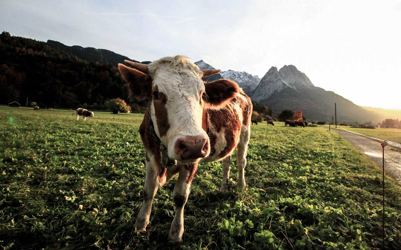cows, milk, facts, nature, people, science, weird