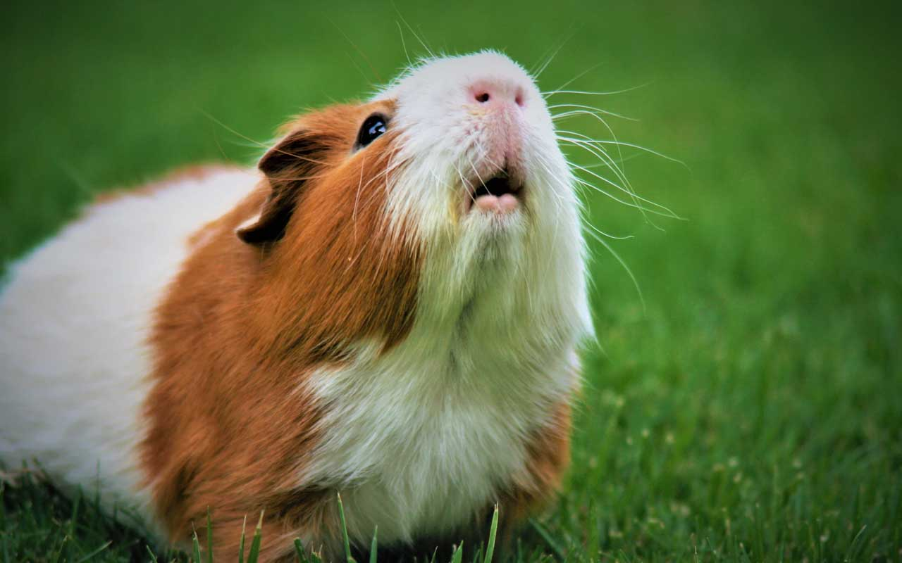 Switzerland, guinea pigs, facts, animals, lonely, science