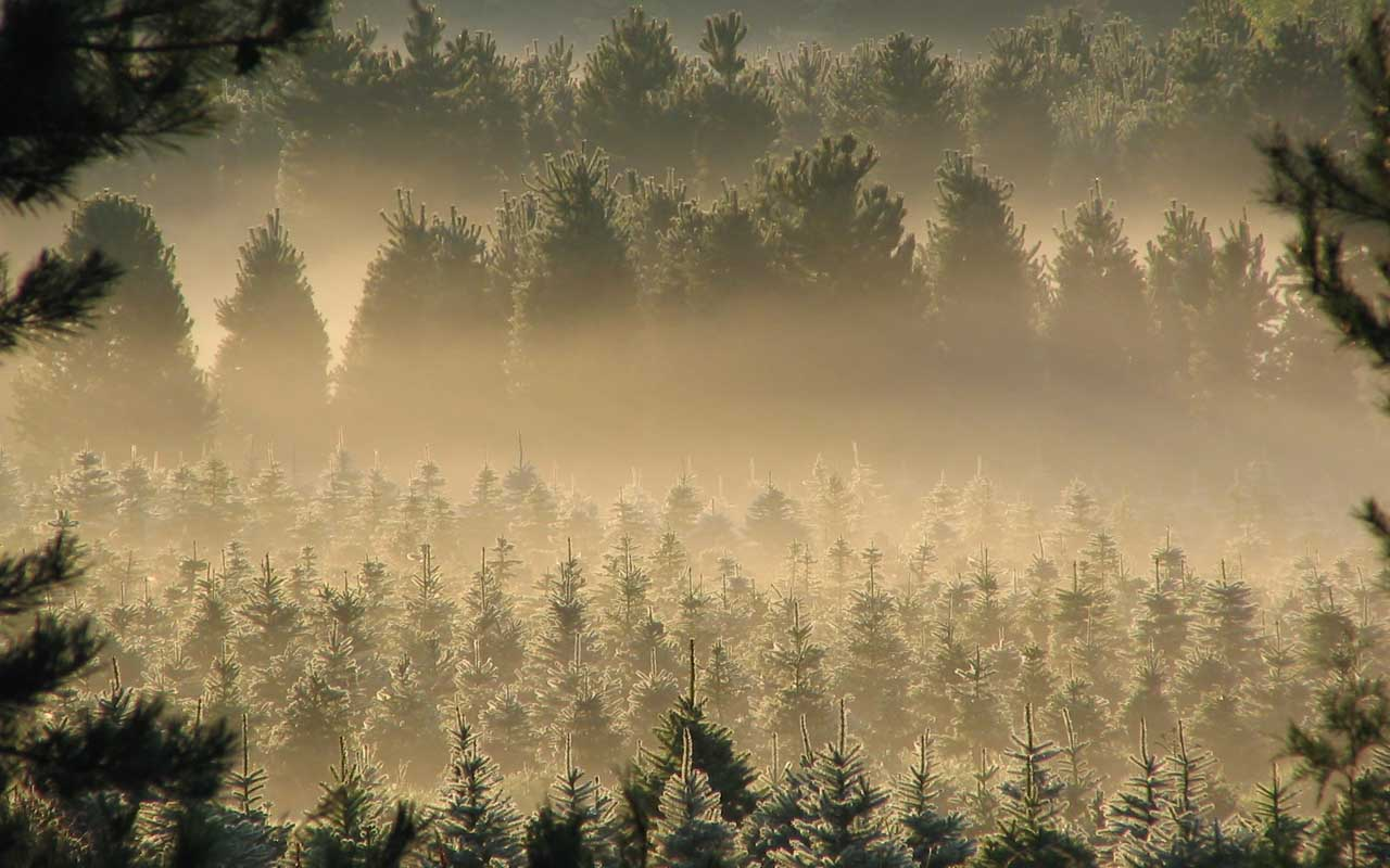 tree, pine, forest, farm, United States, life