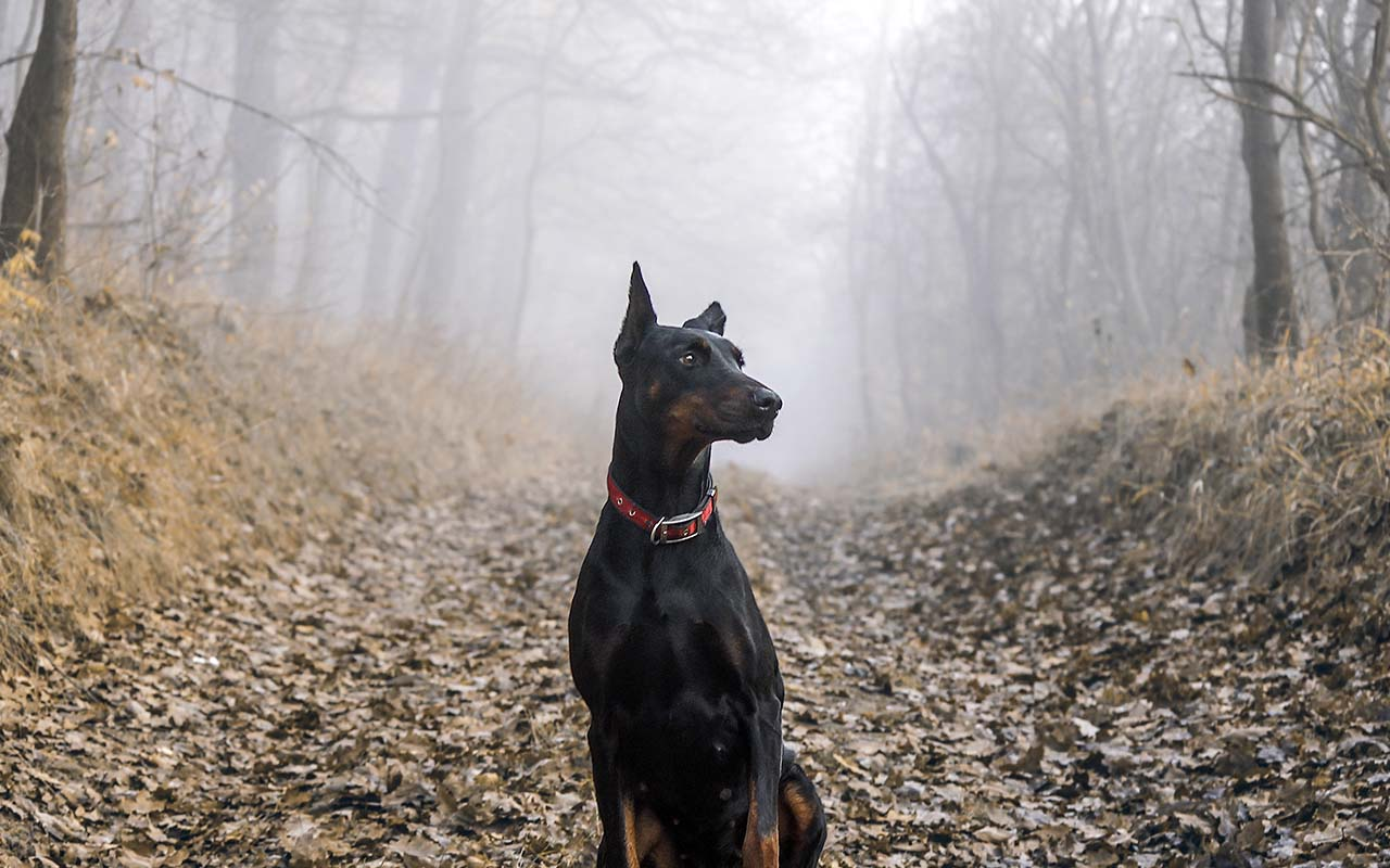 Doberman, breed, facts, animals, pets, loyal, facts, science, AKC