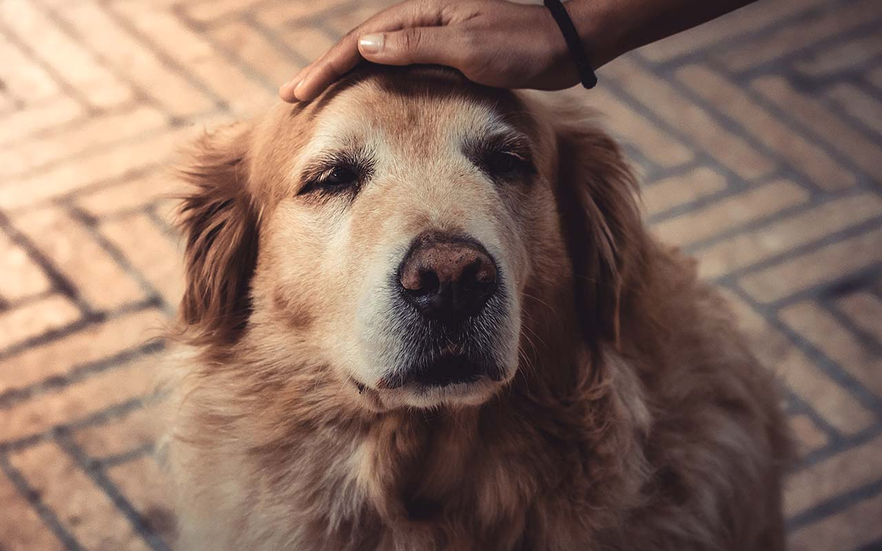 Golden Retriever, dogs, facts, animals, dog breeds, life, loyalty