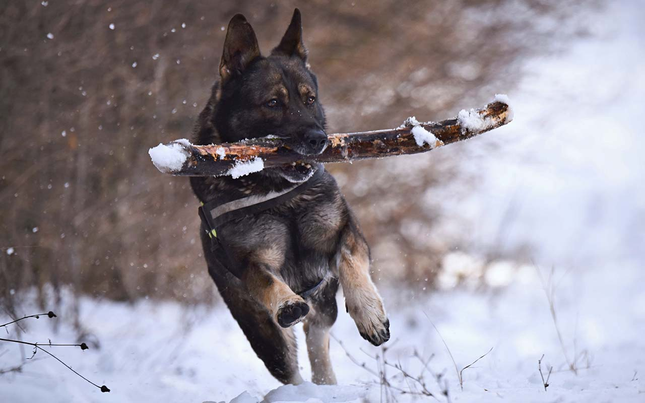 German Shepherd, dog breeds, facts, animals, love, respect, protection, facts, science, American Kennel Club