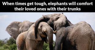 more amazing, facts, animals, elephants, nature