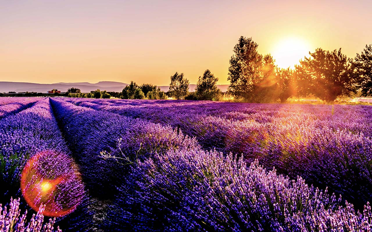 Provence, France, lavender field, facts, life, people, wanderer