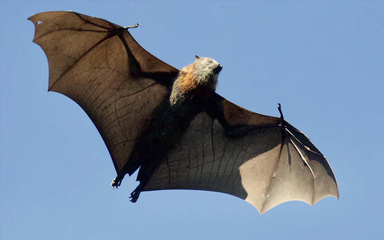 bats, echolocation, sound, eyes, vision, facts, science
