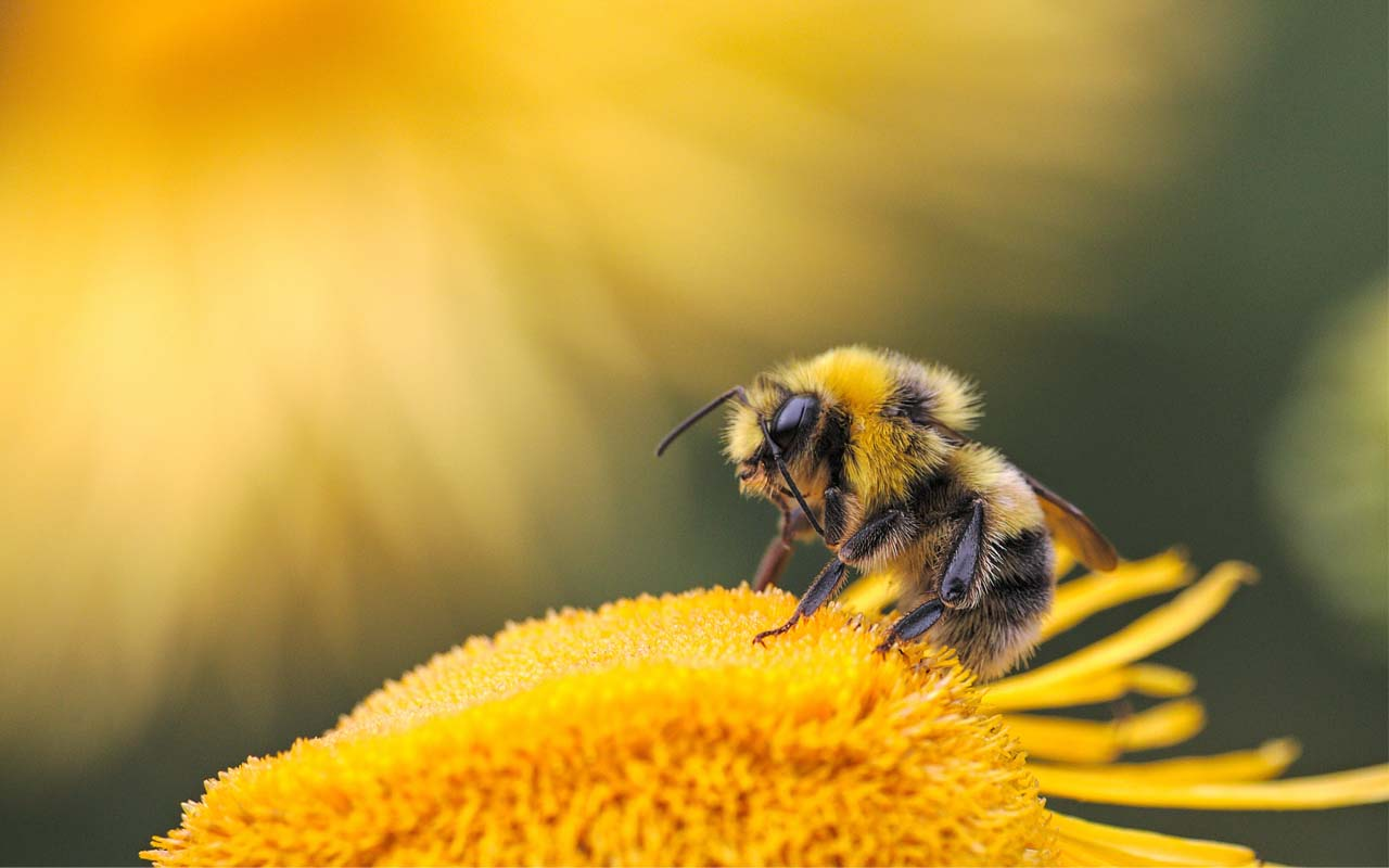 bees, animals, nature, life, facts, flowers, interesting