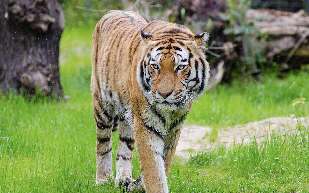 Nepal, tiger, conservation, facts, life, animals, Nature