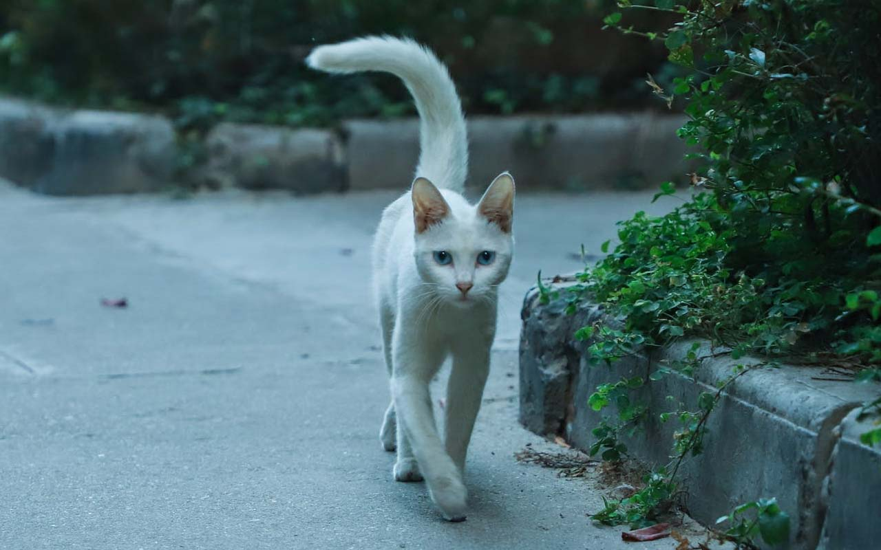 cat tail, tails, animals, nature, facts, science