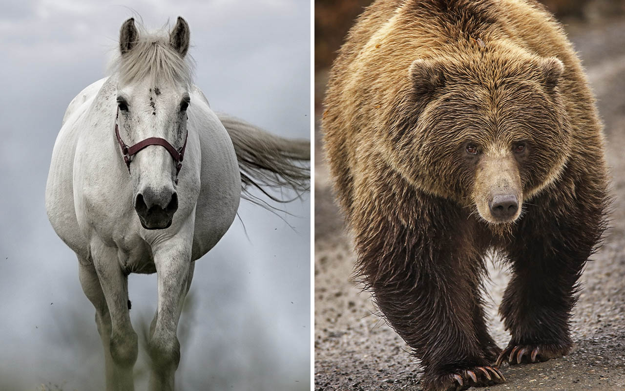 expand, brain, facts, animals, nature, life, horse, endurance, bear, grizzly
