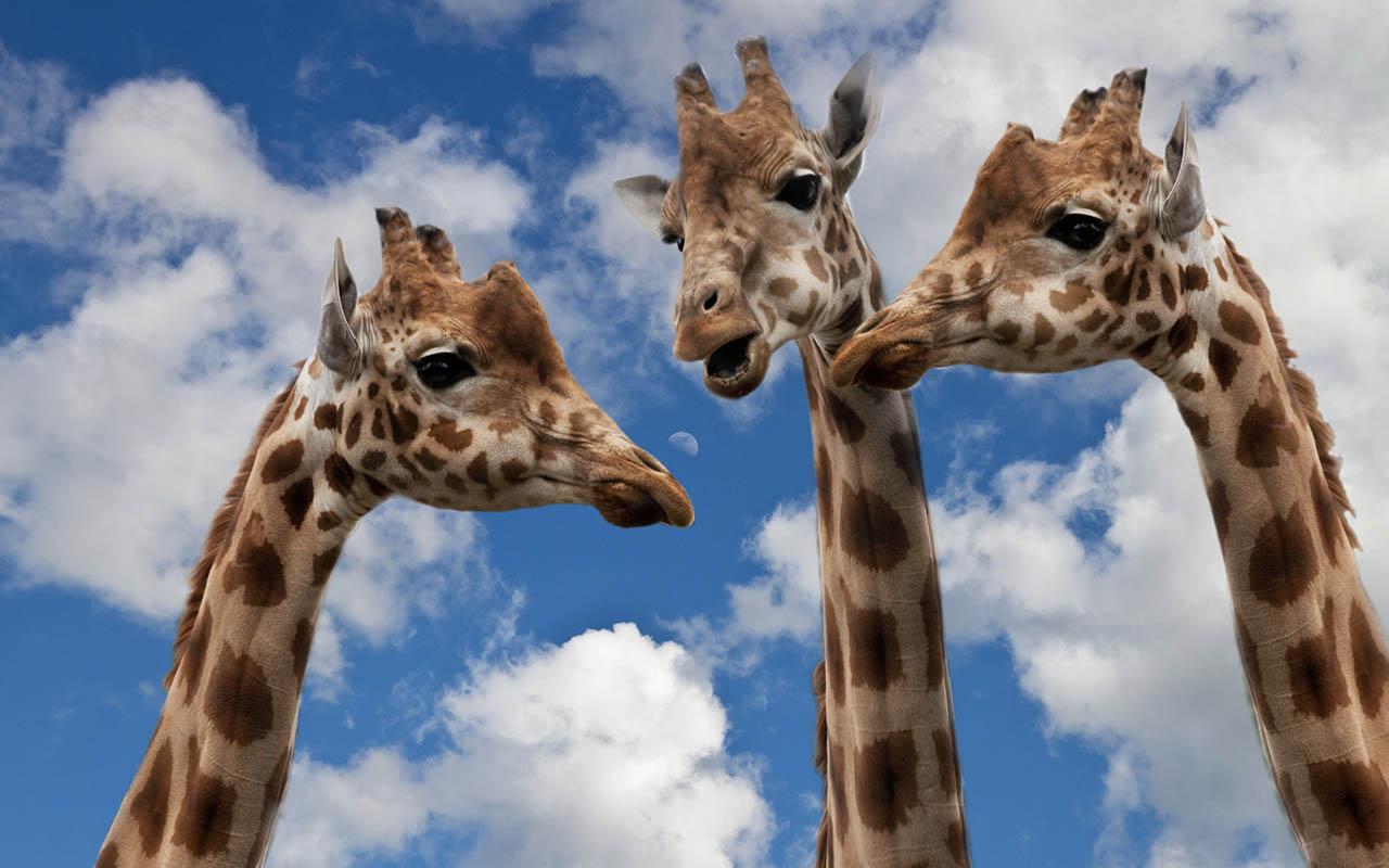giraffes, infrasonic, communication, Africa, wildlife