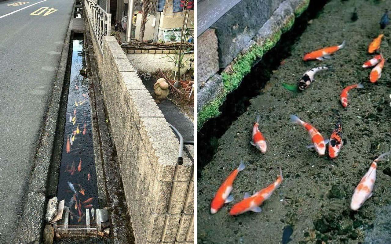 canal, life, entertainment, Osaka, koi fish