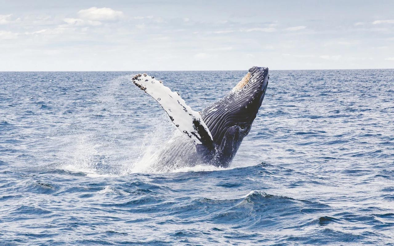 whale 52, lonely whale, facts, ocean, science, entertainment, life, creature, Earth