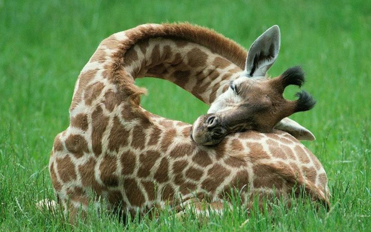 baby giraffe, sleeping, facts, animals, nature, Earth, laugh, smile