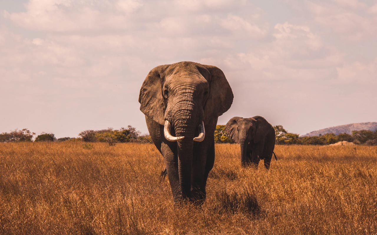 elephants, facts, life, people, nature, Africa
