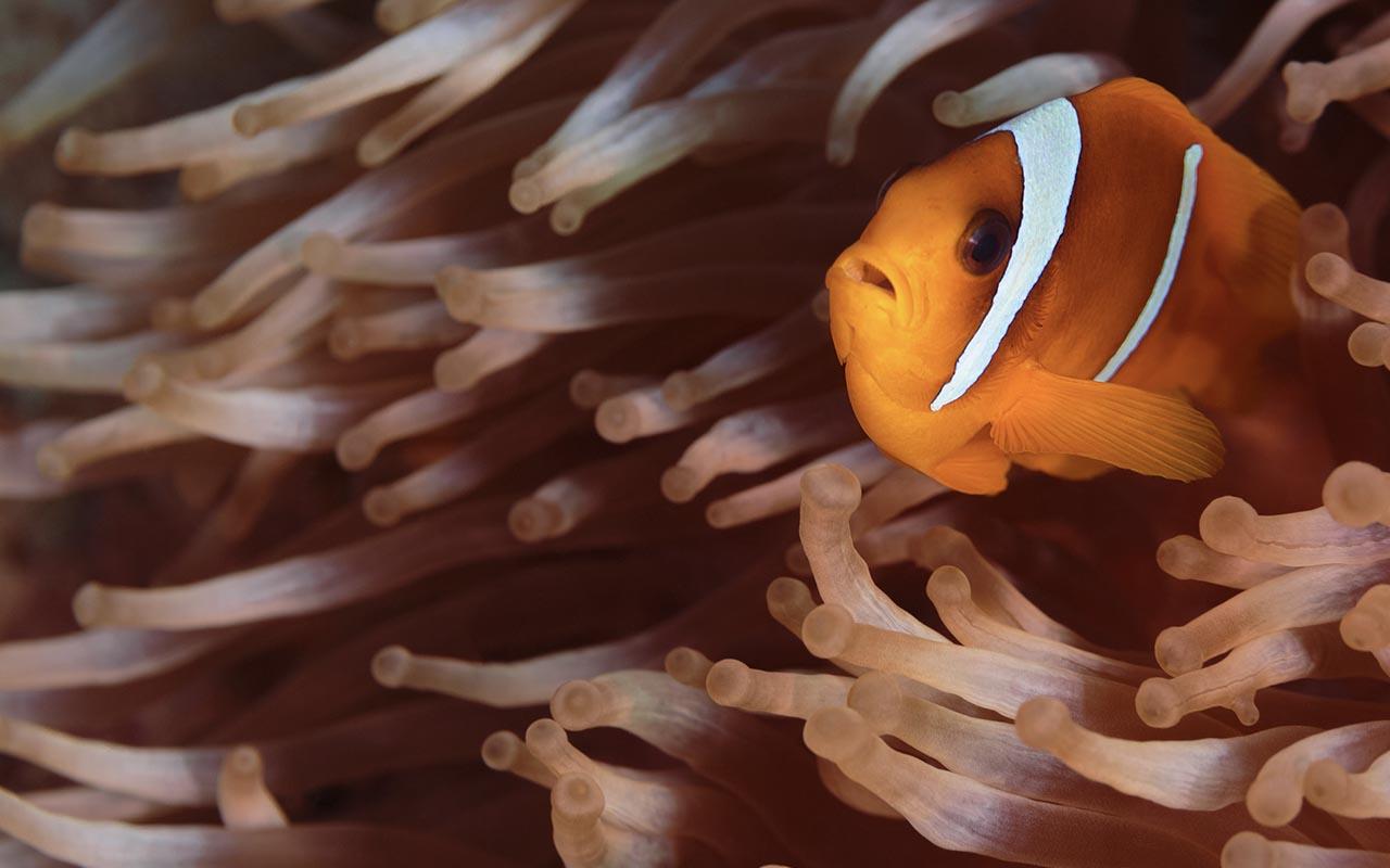 clownfish, nature, ocean, life, facts, weird