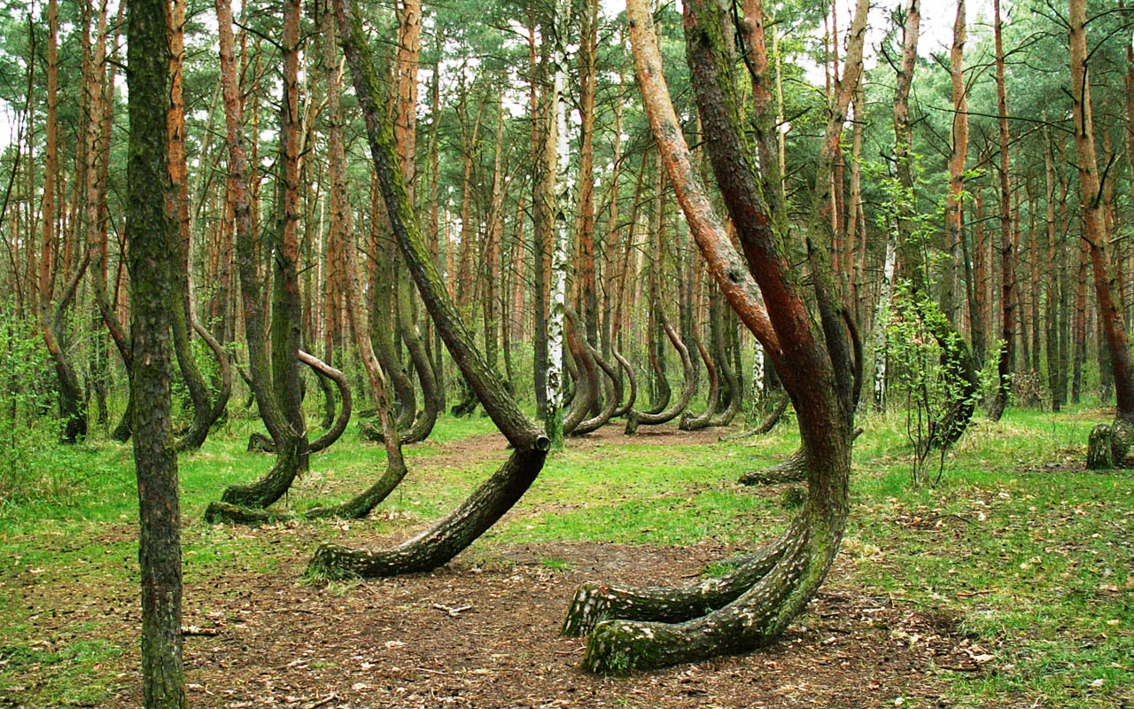 Dancing forest, Russia, trees, curved, mystery