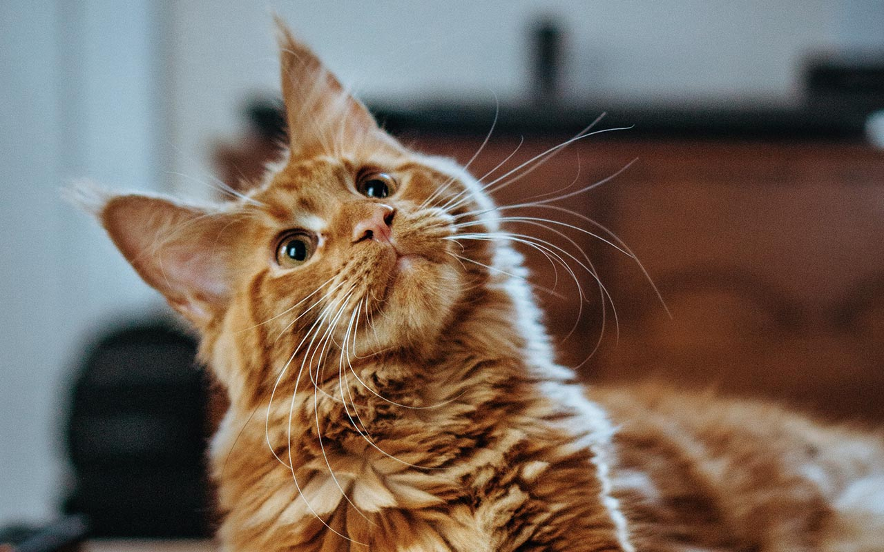 cat, purr, purring, animals, felines, facts, science