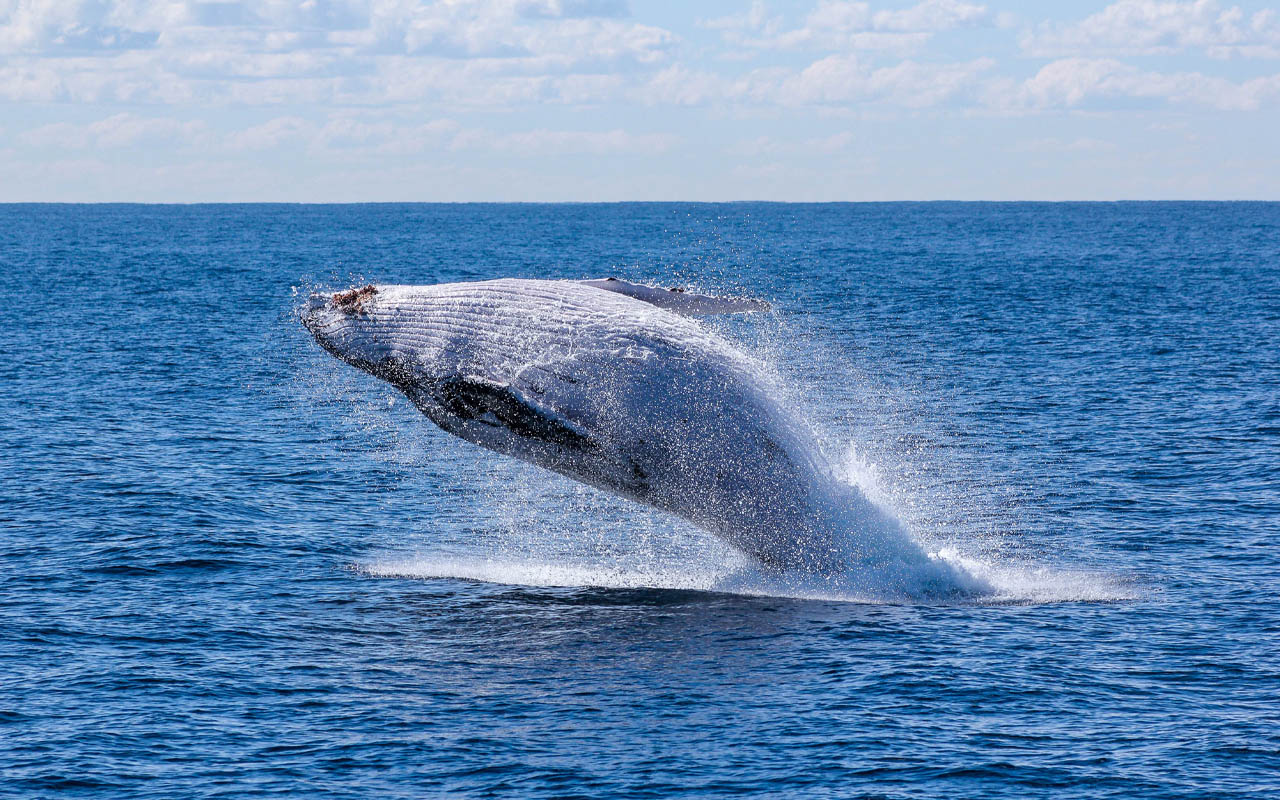 blue whale, food, facts, life, ocean, planet