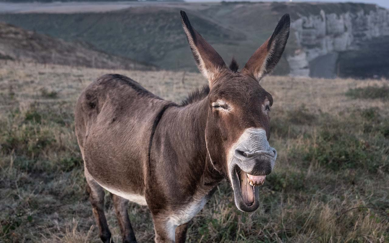 donkey, middle ages, tooth ache, facts, kiss, relieve