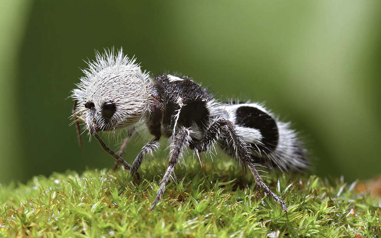 Earthly, animals, insects, ants, Panda ant, facts, life